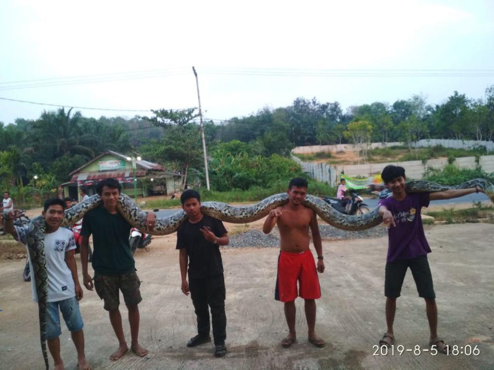 Warga mengangkat ular piton yang ditemukan sepanjang 7 meter.